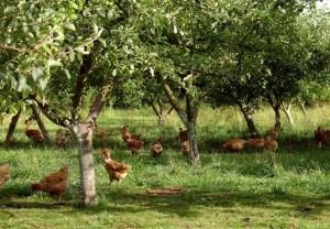 Elevage de poules bio et vergers conservatoires