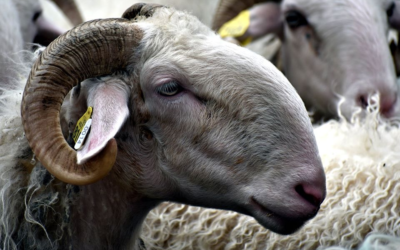 GFA Champs Libres – Portrait de fermes #1 : Installation en élevage de brebis laitières