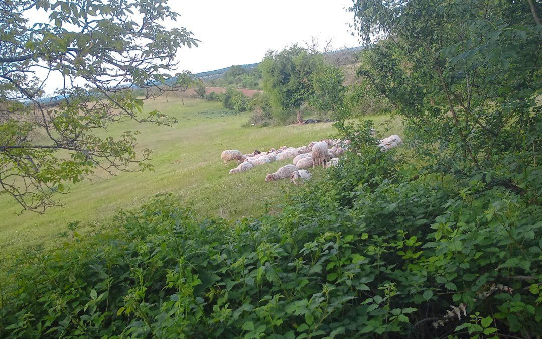 Des brebis mâlinoises : soutenez l'arrivée du troupeau !